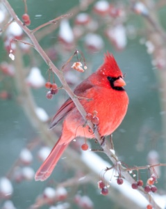 Northern Cardinal and light snow in winter