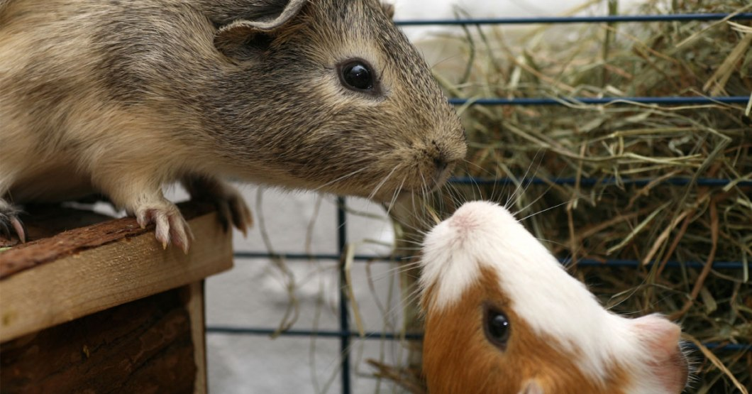 guinea-pigs-kissing